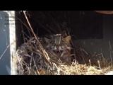 В Приморье спасли раненого дальневосточного лесного кота