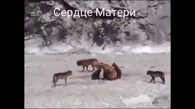 Сердце Матери защищает от стая волков