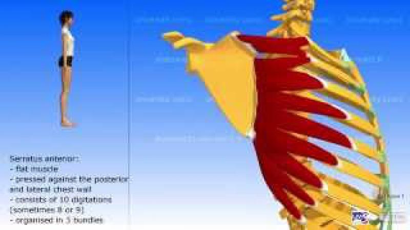 The serratus anterior