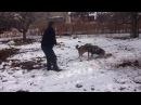 волк против собак... volk protiv sabak... Ishkhani gel Իշխանի գել