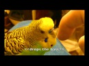 Talking Parakeet Budgie Talks Nonstop Captioned