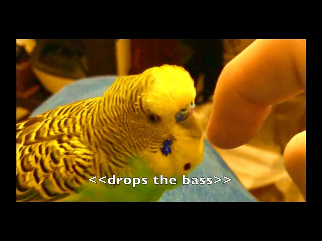 Talking Parakeet (Budgie) Talks Nonstop!! [Captioned]