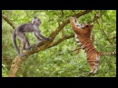 Tiger Attack Monkey On The Tree But Fail Fallen From Tree.
