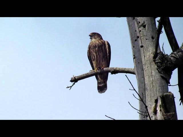 The Merlin (Falco columbarius)
