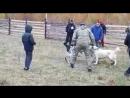 Туркменские волкодавы