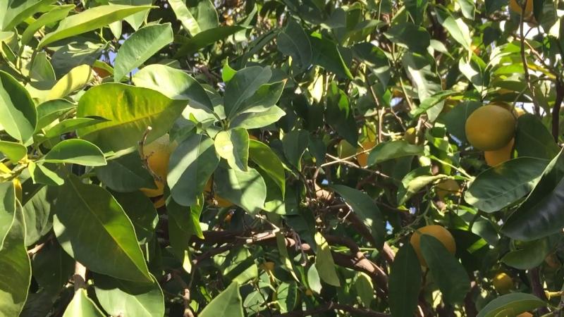22 ноября полуостров Пелопоннес в лимонно апельсиновом саду