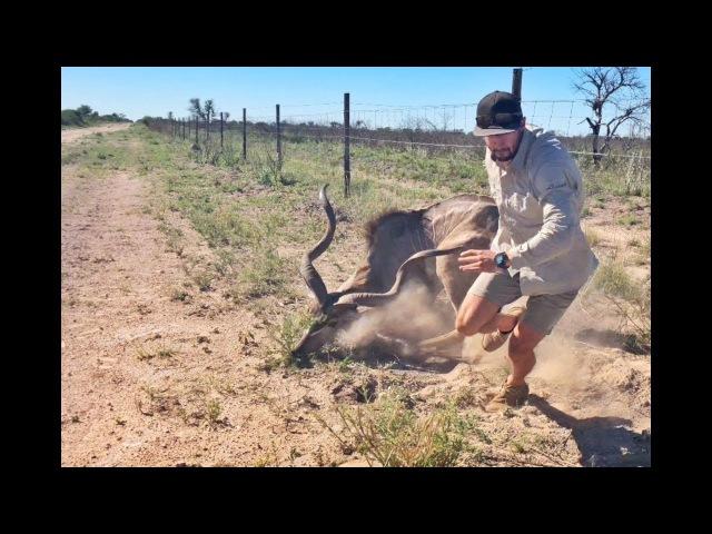 Гид ценой собственной жизни спасает антилопу куду. Kudu Rescue in Central Kalahari