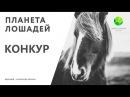 Цикл Планета лошадей   Конкур (3 серия)   Канал Живая планета (эфир от 17.02.2018)