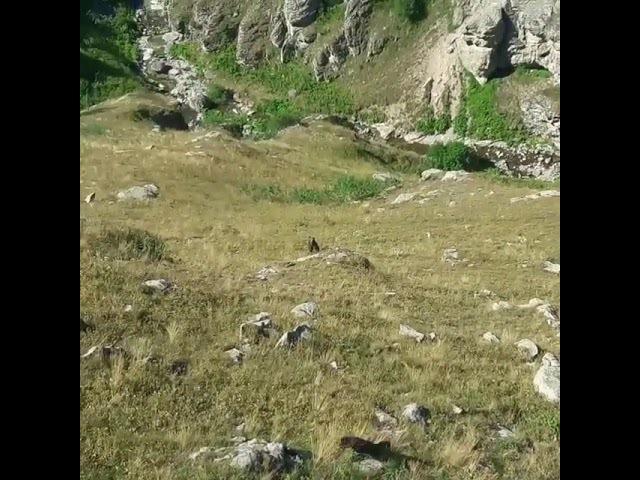 Медведь нападает на овец где-то в Турции