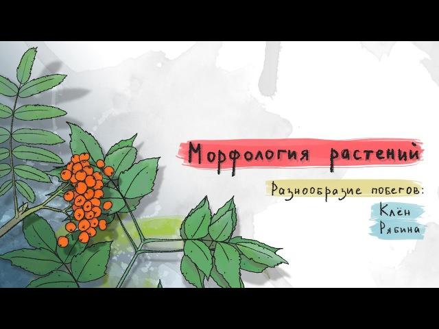 Разнообразие побегов клен, рябина. Морфология растений - 5