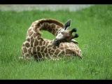 Играю в Wild Animals Online. Жираф лвл 11.