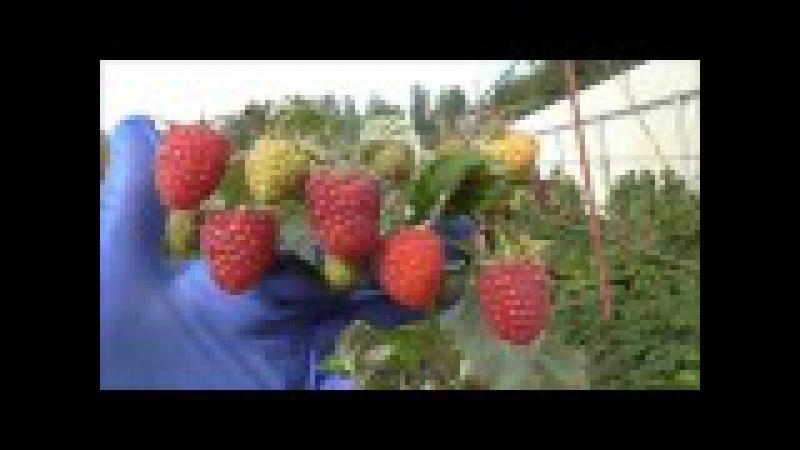 Малина в Беларуси. ХИМБО ТОП - ремонтантный сорт с высочайшей урожайностью.