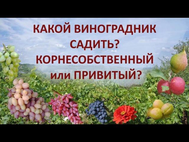 Какой виноградник садить, корнесобственный или привитый?