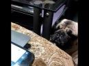 Любимый трек моей собаки Челси. Мопс.Евпатория 2018.