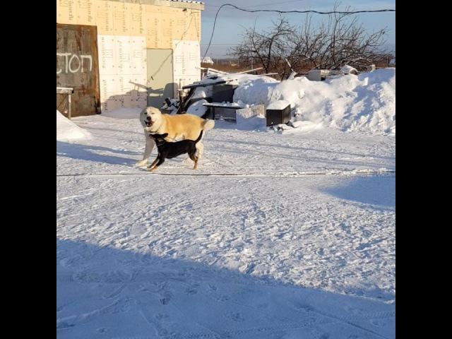 ПРОДАЖА кобель 2 года ХАЗАР Кобель адекватный можно в семью с детьми и другими адекватными животными. На бои собака не продается. все вопросы в личку или по тел 79048881825 вайбер или ватсап Доставка по всему миру www.timertash.ru