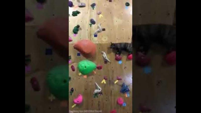 Кошка скалолазка