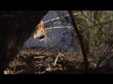 BBC Natural World 2012 - Tiger Dynasty (HDTV)