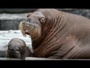 Животные Севера для детей, Дикие животные для детей, Развивающее видео