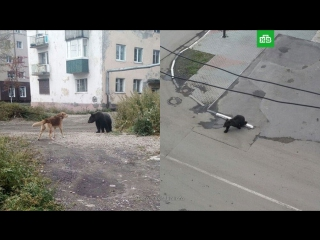 Дикий медведь в поисках пищи зашел в город на Сахалине