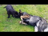 Playful dog cuddles with cute puppies