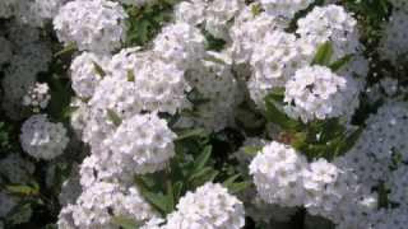 Цветет черемуха к похолоданию