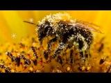 ПЧЕЛИНАЯ ПЫЛЬЦА ПОЛЬЗА цветочная пыльца