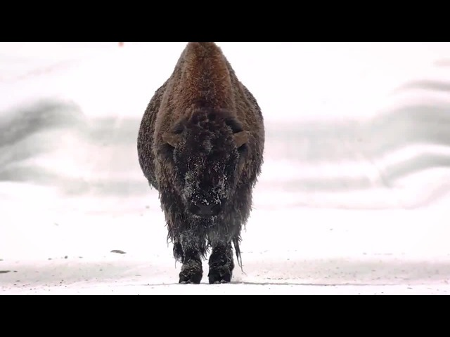 Bison walks slowly down the road near the Yellowstone