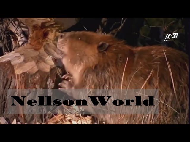 Мир Диких Животных- Бобровая Платина