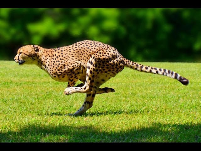 Суперхищники — Гепард (Документальные фильмы National Geographic HD)