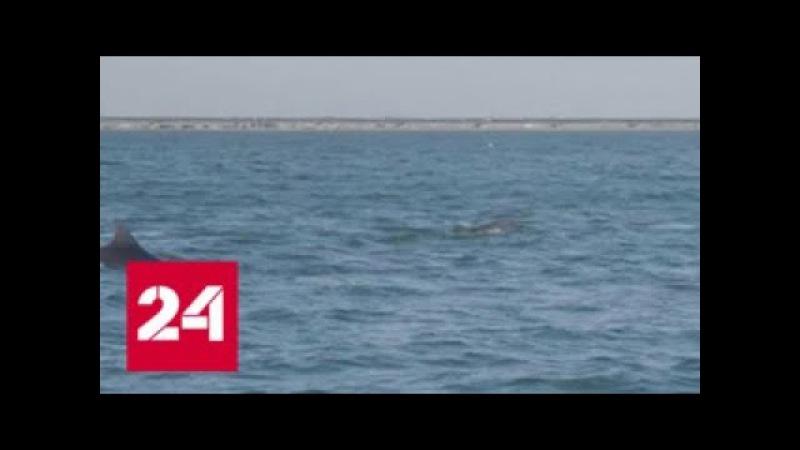 Ученые проследят за миграцией рыбы и дельфинов в Керченском проливе - Россия 24
