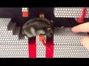 ハムスター ココちゃんもハムマリオに挑戦!WORLD1-4(HAMUMARIO)Hamster Super Mario Bros.
