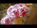 Вальс орхидей