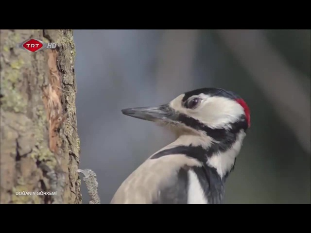 Дятел в слоумоушн \ Woodpecker in slow motion