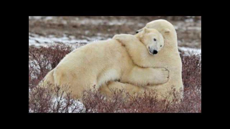 Брачные отношения у животных (рассказывает териолог Андрей Чебовский)