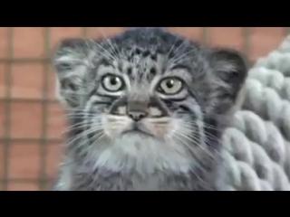 Манул - редкий дикий кот .