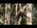 Great Lizard Cuckoo Большая ящеричная кукушка Saurothera merlini