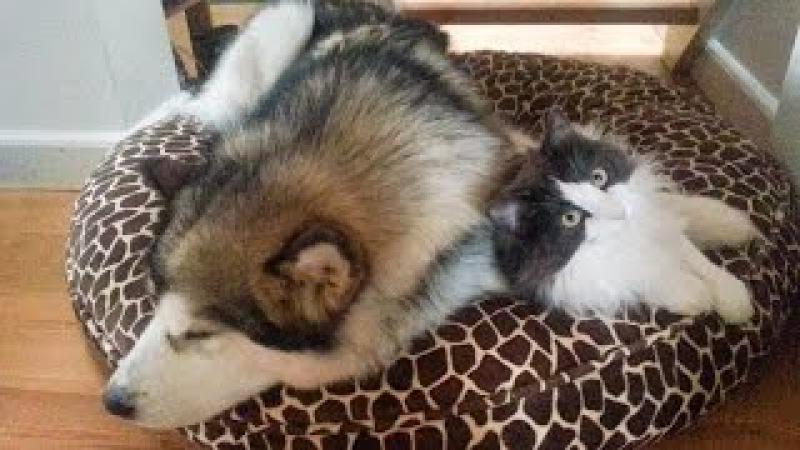 Alaskan Malamute vs Norwegian Forest Cat