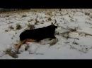 Подборка моментов с охоты на лося.Полная версия