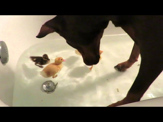 Doberman gets in tub with baby ducks!