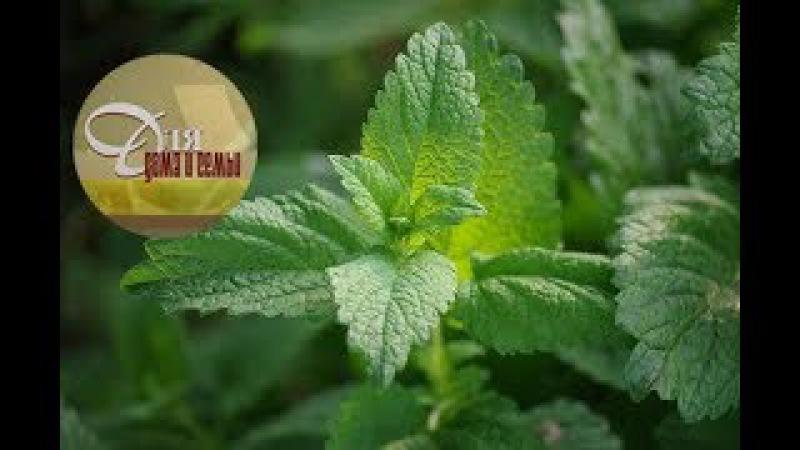 Мелисса: полезные свойства, выращивание, использование.