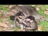 Old Baby Monkey Grab Mom From Newborn Baby Monkey, Baby Monkey Just Born Cry, Monkeys 1110 Tube BBC