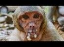 Top Sweet Pea Monkey Eating Food 2018 Top Cute Babies Monkeys Playing