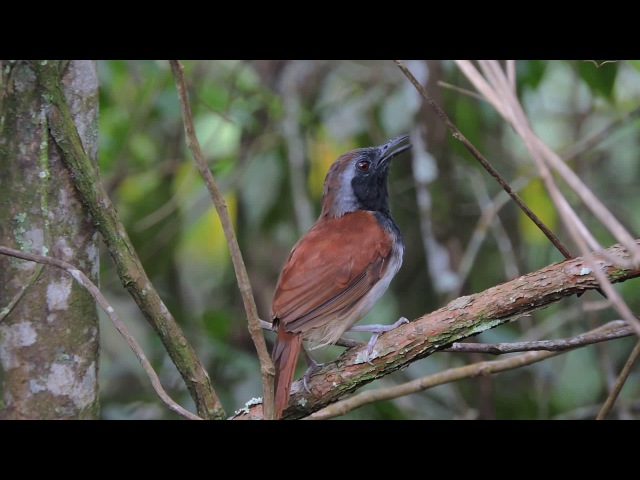 White-bellied antbird / Белобрюхая славковая муравьянка / Myrmeciza longipes