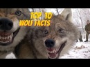 TOP 10 WOLF FACTS - EVERYTHING YOU EVER WANTED TO KNOW ABOUT WOLVES