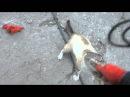 Кот бульдог смертельная хватка