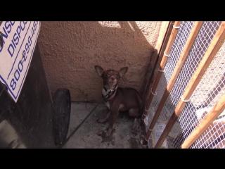 A little homeless chihuahua