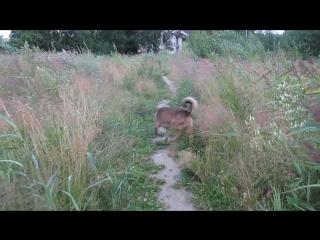 Вернулись в свою деревню.Окрас Жозефины сливается с рыжеющими травами