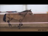 Akhal-teke stallion Sapar-KanАхалтекинский жеребец Сапар-Кан