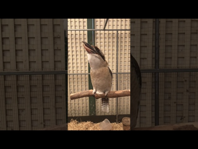 Kookaburra laughing in slow motion.