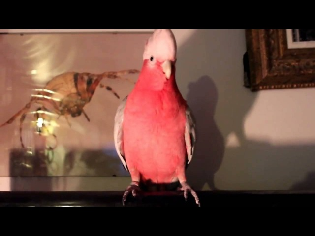 Розовый Какаду танцует Gangnam Style